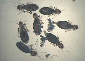 This picture is of Liposcelis divinatorius captured in the Sheffield ...