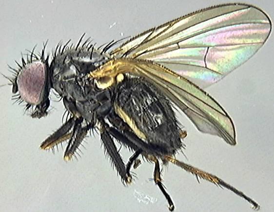 Muscidae - Checklist View